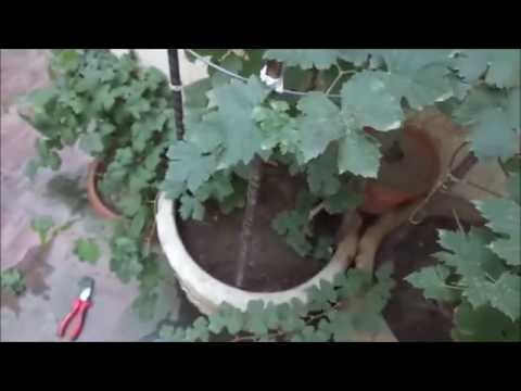 How To Grow Vines From Cuttings Urdu Hindi