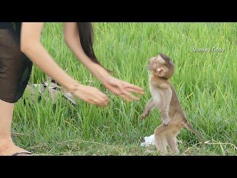 Baby Dodo Fighting Mom At Green Field In Rainy Season, Dodo Happy With Mom