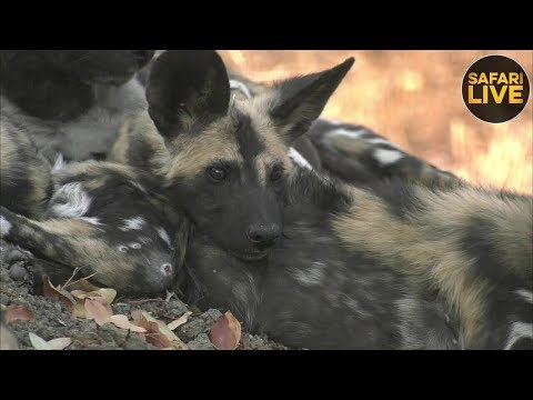 safariLIVE - Sunrise Safari - September 19, 2018