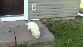 Golden Retriever - Temperament Test - Phoebe And Ivan Puppy Male 2 - Outside 179