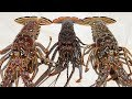 the cockroach of the sea  catch clean cook  florida spiny lobster