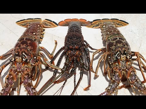 """The """"COCKROACH"""" of the Sea- Catch Clean Cook- Florida Spiny Lobster thumbnail"""