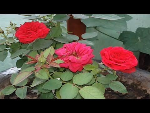 Rose caring in winter || सर्दियों में गुलाब की देखभाल