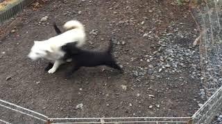 生後2ヶ月の甲斐犬と3ヶ月の紀州犬 甲斐犬天狼犬舎.