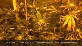 How To Grow CBD | Indoor Grow Tent - Week 4 Flowering