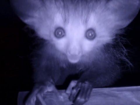 London Zoo Celebrates Birth of 1st Aye-Aye Lemur