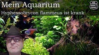 Hyphessobrycon flammeus ist krank   Mein Aquarium 59
