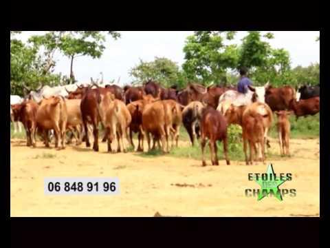 TV CONGO - Emission étoiles des champs - Métayage bovin