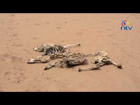 Carcasses of dead livestock posing a health risk to Turkana residents