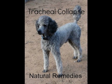 Dog Tracheal Collapse Home Treatment