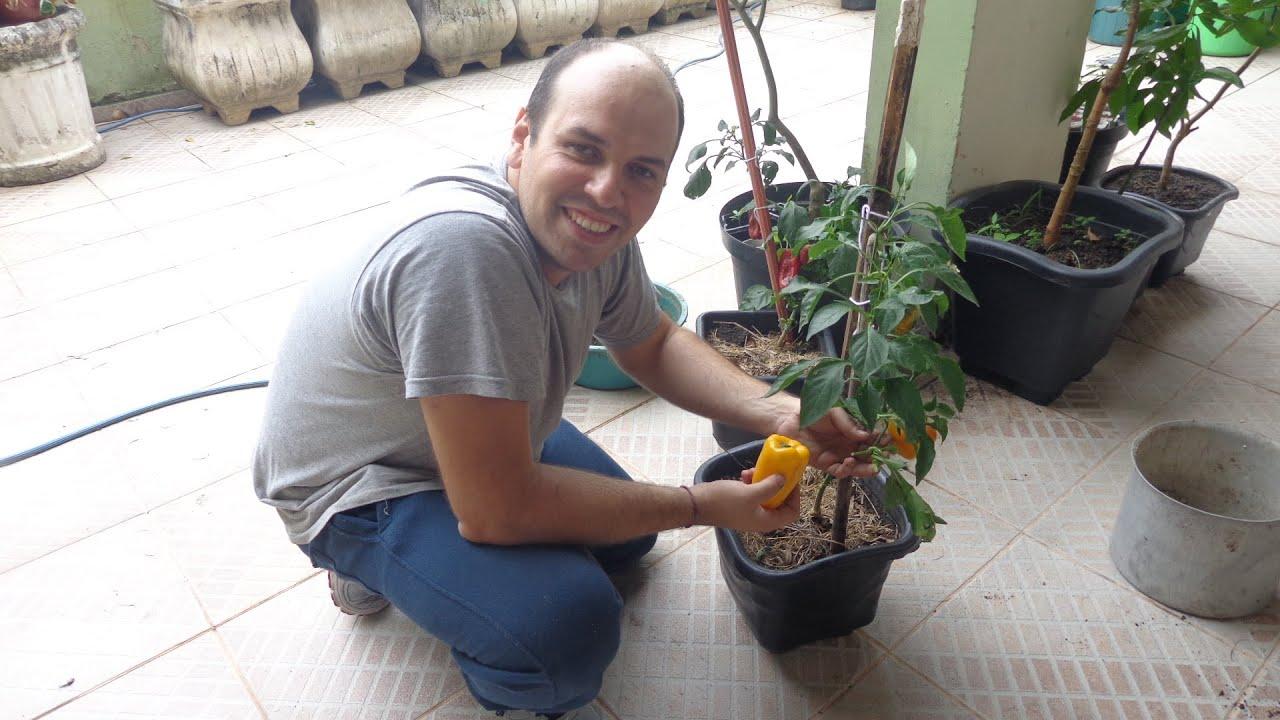 Como plantar piment es de todas as cores processo for Como plantar patatas en casa