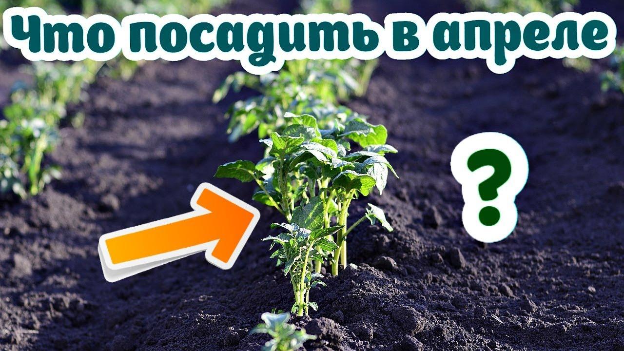 Что посадить на огороде в апреле из овощей и зелени? Апрель посадки на огороде!
