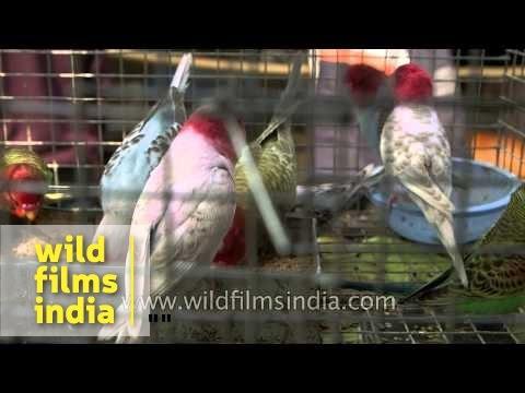 Bird market at Sonepur fair, India