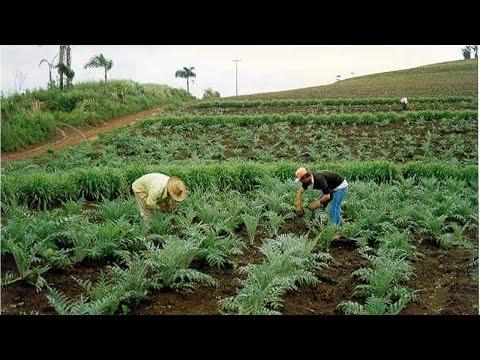 Curso Produção Comercial de Plantas Medicinais - Colheita