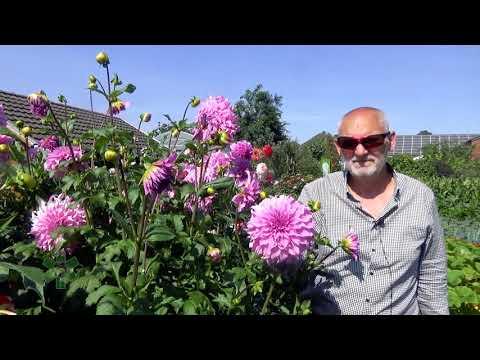 Dalie - kwiaty