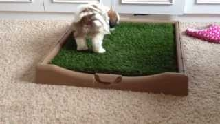 Cooper Using The Rascal Dog Litter Box Big Squirt