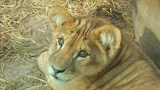 2015年5月12日、子供ライオンのステラ(メス)が死亡しました。首に大き...