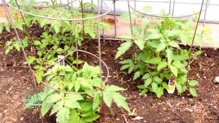 Tomato Growing Tips | From the Ground Up