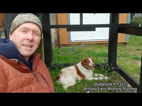 Dog Training  Brittany, Bird Dog Conditioning