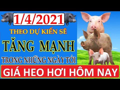 Giá heo hơi hôm nay ngày 1/4/2021   Giá lợn hơi theo dự kiến sẽ tăng mạnh trong những ngày tới