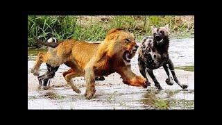 ライオン VS ハイエナ 最高 の 攻撃 - 動物 野生 トップ 10 HD ライオン...