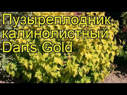 Пузыреплодник калинолистный Darts Gold. Краткий обзор, описание характеристик