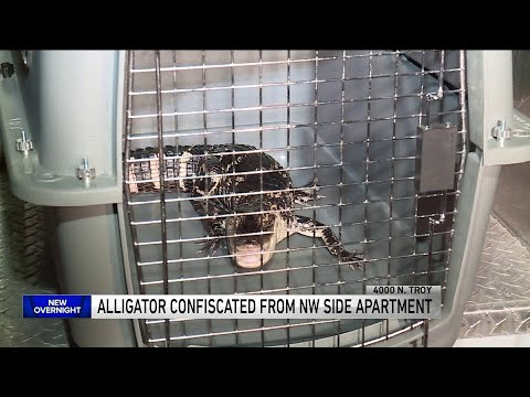 Mick Lee - Alligator Found in House in Chicago