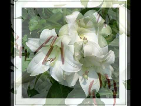 Александр  Шапиро Белые  цветыклип