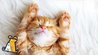 Musica para gatos para dormir