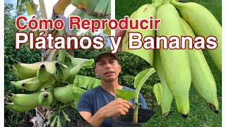 Como Obtener Semillas de Plátano Correctamente