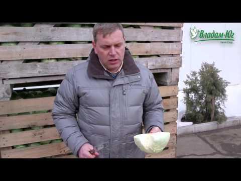 Отличная капуста для квашения и переработки - Центурион F1 | центурион | вырастить | белокоча | капусты | капусту | капуста | семена | овощей | купить | владам