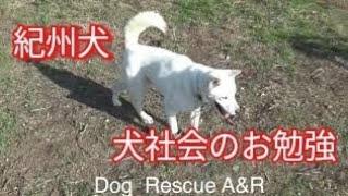 北斗くん群れに入れて行きます! Dog Rescue A&Rからのお願い 大変図々...