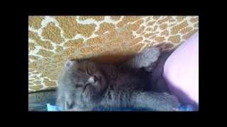 Особенности вислоухих котят