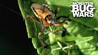 Tiger Assassin Bug vs Silverback Cross Spider | MONSTER BUG WARS