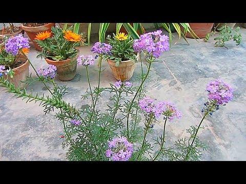 Perennial Verbena Caring & Propagation Tips | Urdu/Hindi