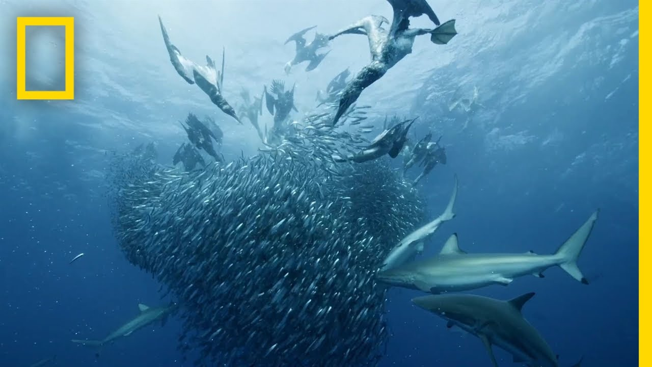 Sardine Feeding Frenzy | 50 Shades of Sharks