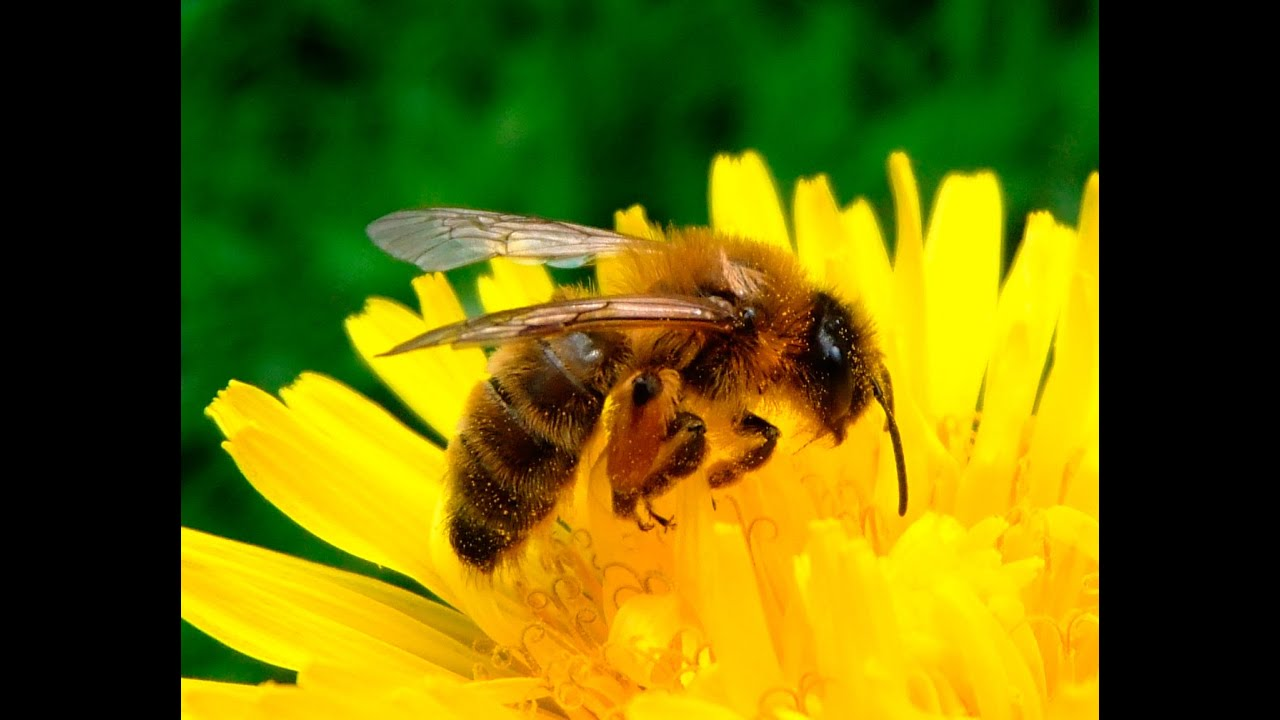 la fondation rovaltain s 39 engage pour sauver les abeilles youtube. Black Bedroom Furniture Sets. Home Design Ideas