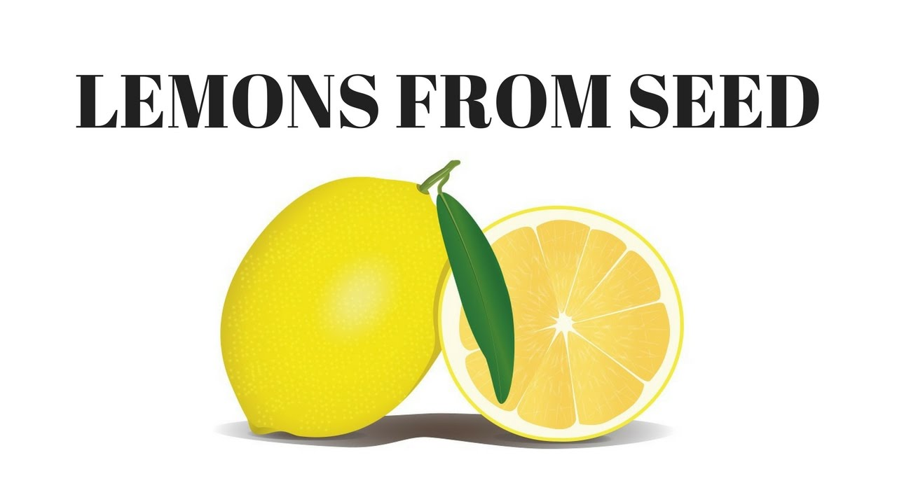 How to grow lemons from seed youtube for How to get lemon seeds to grow