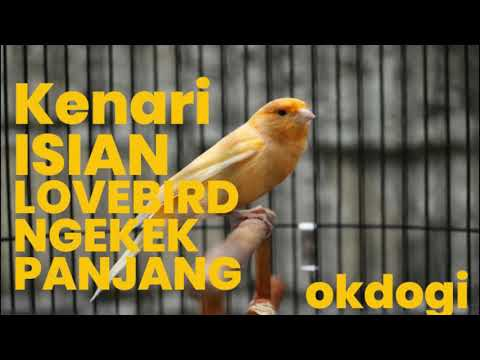 Download Lagu Masteran Kicau Kenari Isian Lovebird Ngekek, MANTAP!