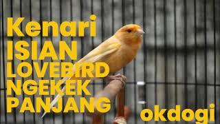 Masteran Kicau Kenari Isian Lovebird Ngekek, MANTAP!