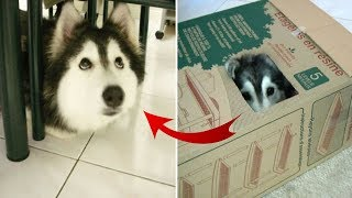 This adorable husky was raised by cats and acts exactly like a cat. It's just too cute to be true.