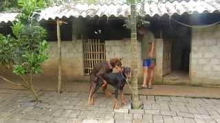 L1 1 PHỐIGIỐNG ngày 25 8 2013 chó đực của Trại