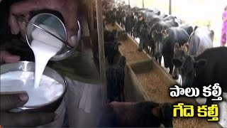 Dairy Farm Owners Feeding Molasses to Cows | Fake Milk | NTV
