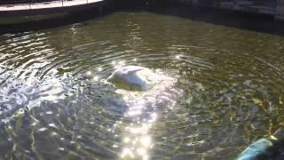 """河口湖オルゴールの森にいる白鳥さんです。 池にそそぐ光が反射して""""キ..."""