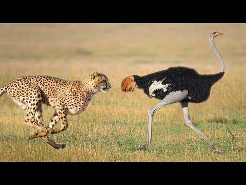Cheetah vs Otrich