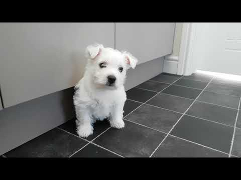 Westie Puppy 1st day home