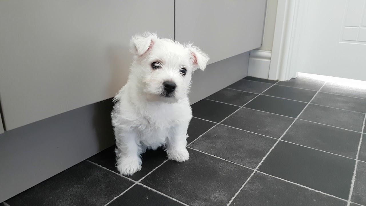 Westie puppies for sale in shreveport la