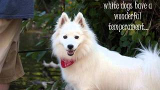 American Eskimo Dog Breed Pictures