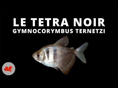 Veuve noire - Gymnocorymbus ternetzi ✔