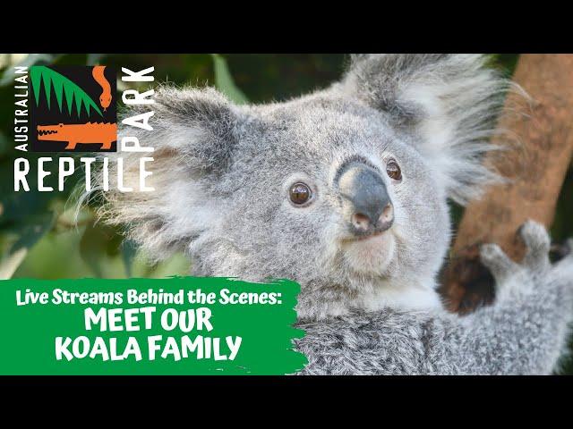 MEET OUR KOALAS! (LIVE FOOTAGE) | AUSTRALIAN REPTILE PARK